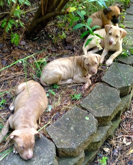 Four American Pit Corso puppies are sitting and laying in a garden.