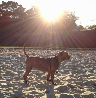 The right side of an American Pit Corso puppy that is standing across a beach and it is looking to the right.