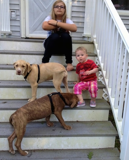 Two American Pit Corso puppies playing are standing on steps with two kids