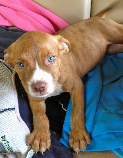 Close up - The front left side of a red with white American Pit Corso puppy that is laying on a pile of clothes. The puppy has blue eyes.