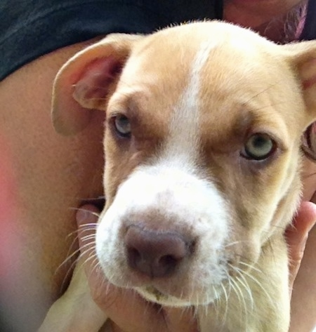 Close up - A tan with white American Pit Corso puppy is being held close to the body of a person.