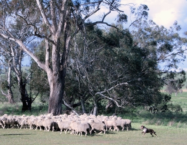 A large herd of sheep are in a field being herded up by a working Australian Koolie next to a large tree.