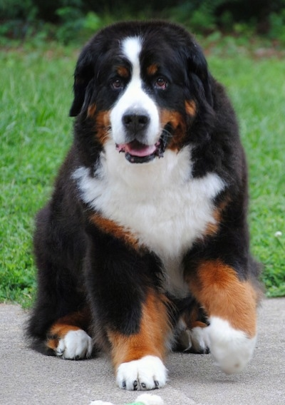 Ivan the Bernese Mountain Dog sitting outside on the sidewalk with a paw in the air