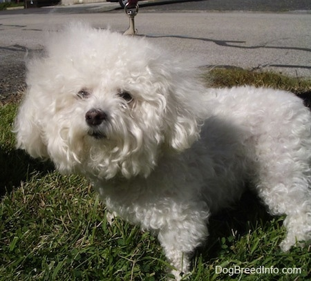 Suzi the Bichon Frise with long fur on her head standing outside on grass