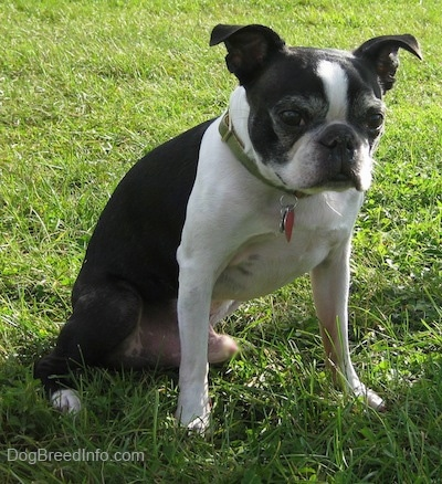 Tater the Boston Terrier sitting outside in grass