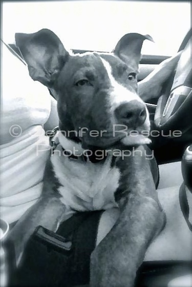 Baby E the Pit Bull Terrier sitting in the lap of a lady who is driving a car