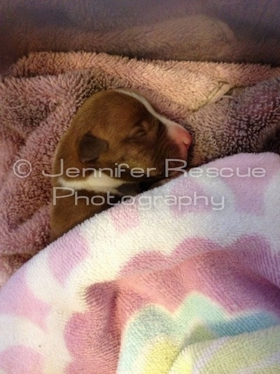 Baby E the Pit Bull Terrier is sleeping on a towel and being covered by a blanket