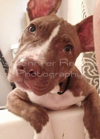 Baby E the Pit Bull Terrier leaning against the edge of a white bath tub with his head tilted to the left