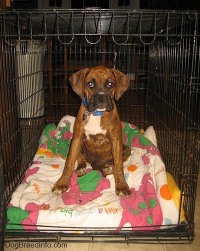 Bruno the Boxer as a puppy is sitting in a dog crate on top of a Barney the purple dinosaur blanket.