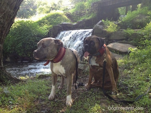 Spencer the Pit Bull Terrier and Bruno the Boxer are in front of a waterfall at a creek