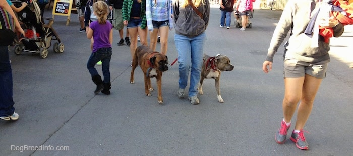 A brindle with white Pit Bull Terrier and a brown brindle with white Boxer are being walked across an amusement park
