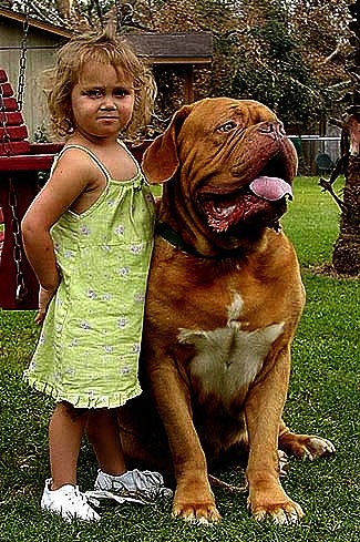 A little girl is standing next to a sitting Razz the Dogue de Bordeaux. There is a red swing  and a house behind them. The dog looks larger than the child.