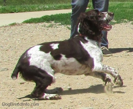 Duke the English Springer Spaniel is preparing to jump and kicking up dust. There is a person behind him