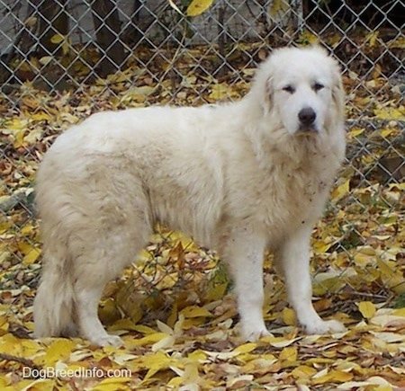 The right side of a white Great Pyrenees that is standing on leaves in front of a chain link fence and it is looking forward.