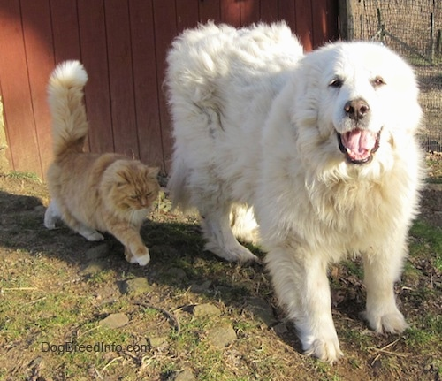 A white Great Pyrenees that is standing on grass and to the left of it is an orange with white cat. The Great Pyrenees mouth is open and tongue is out.