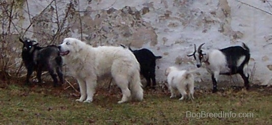The left side of a white Great Pyrenees that is standing in front of a herd of goats and there is a puppy standing behind it.