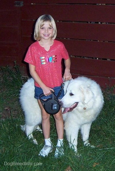 The right side of a white Great Pyrenees that is looking to the left and it is standing on grass behind a girl who is smiling.