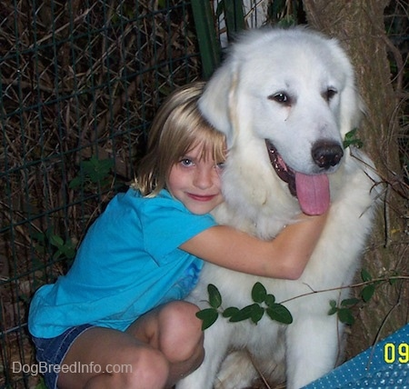 A white Great Pyrenees is sitting in front of a tree and it is getting a hug from a girl. The Great Pyrenees mouth is open and tongue is sticking out.