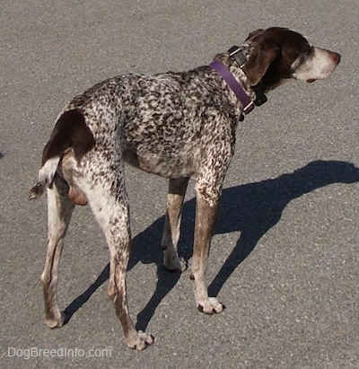 A white with brown German Shorthaired Pointer is standing in a parking lot. Its body is a bit scrunched up