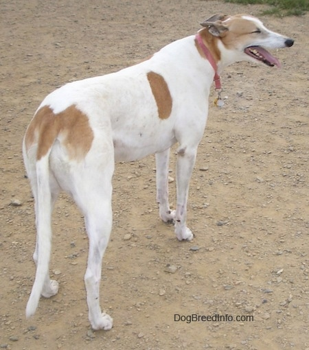 A white with tan Greyhound is wearing a pink collar standing in dirt and looking to its right
