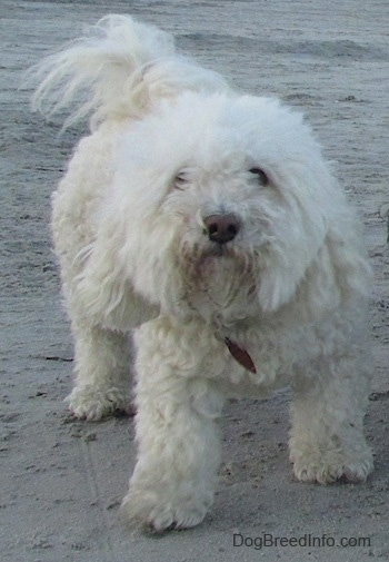 A fluffy white Havachon is standing in sand