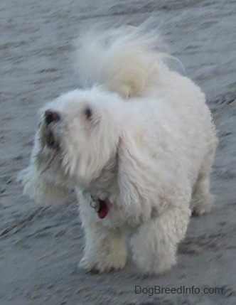 A furry white Havachon is standing on a beach looking up and to the left i mid-bark