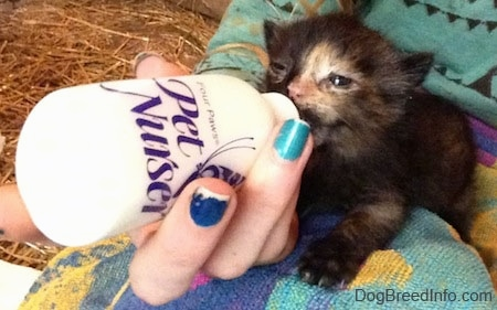 Cleo the Kitten being bottle fed on a towel on a person's lap