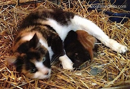 Winny the cat trying to nurse two stray kittens