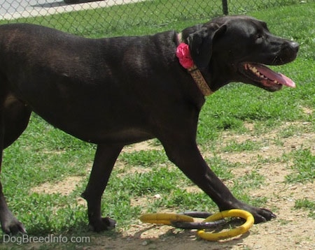 Side view - A black Labrador Corso dog is walking across grass into a dirt patch with a yellow and gray ring toy beside it. Its mouth is open and its tongue is out