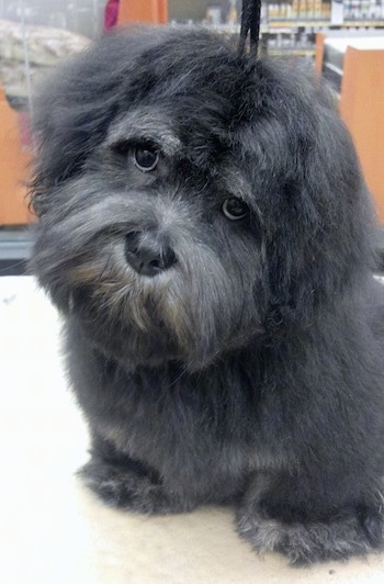 A longhaired, short-legged black Lhasa Apso is sitting on a hardwood floor in a store. Its head is tilted to the right and looking forward. It looks like Harry from Harry and the Hendersons.
