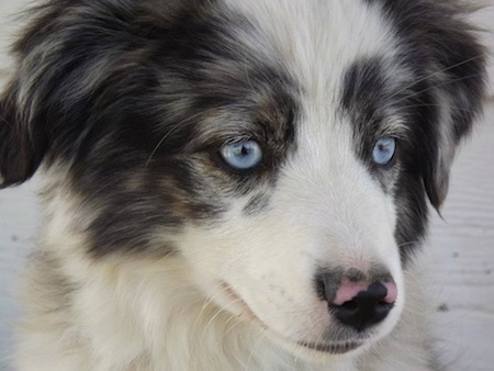 Close up head shot - A blue-eyed white with black and brown Miniature Australian Shepherd puppy is laying down outside. Its nose is pink and black in color.