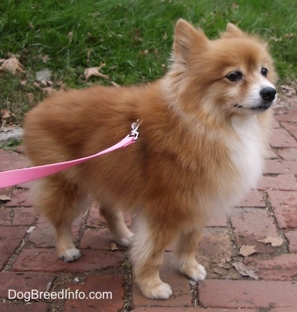 Front side view - A red with white Pomeranian is standing across a brick walkway and it is looking up and to the right.