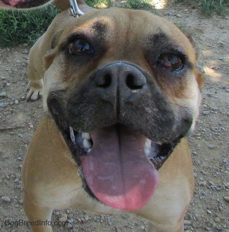 Close up - The face of a tan with white Puggle that is standing in dirt. It is panting and it looks like it is smiling. Its right eye has a red buldge coming out of it.