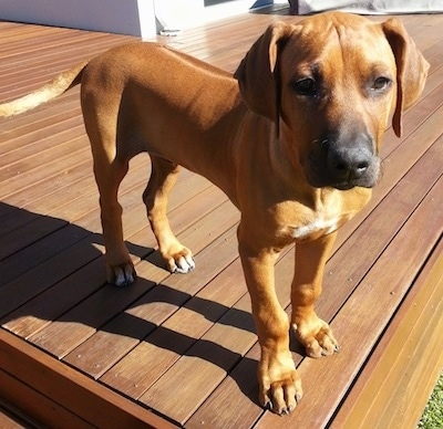 Close up - A Rhodesian Ridgeback puppy is standing at the edge of a wooden deck looking forward.