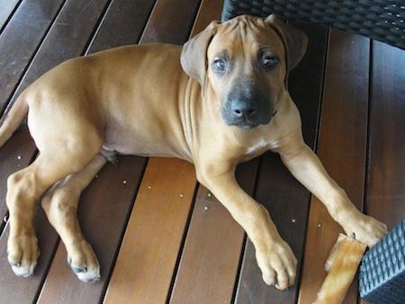 A Rhodesian Ridgeback puppy is laying on a wooden deck looking up. There is a brown rawhide bone in front of its right paw.