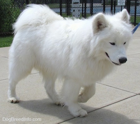 The right side of a thick coated, white Samoyed is walking across a concrete surface and it is looking down.