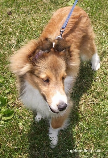 Top down view of a brown with white Shetland Sheepdog puppy that is standing in grass and it is looking to the right. It has a long muzzle.