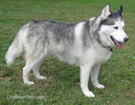 The right side of a grey and white Siberian Husky that is standing on grass, it is looking to the right, its mouth is open and its tongue is out. It looks like a wolf.