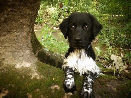 Close up - A little black and white Stabyhoun puppy is standing up against the root of a tree and it is looking forward. The dog's body is wet and there is a stream behind it.