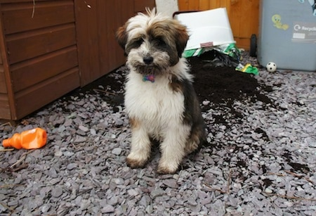 Front view - A white and black with brown Tibetan Terrier puppy is sitting on a surface covered in rocks and it is looking forward. There is a spilled box of soil behind it. The puppy has dirt on its face. There is a chewed orange plastic bottle next to it.