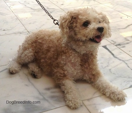 The front right side of a wavy coated, tan Toy Poodle dog laying across a marble tiled surface, its mouth is open, its tongue is sticking out, it is looking up and to the right. It has a black nose and large round dark eyes.