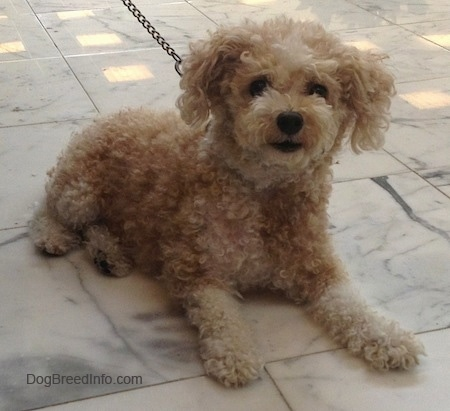 The front right side of a small curly coated, tan Toy Poodle dog laying across a stone marble tiled surface, it is looking forward and its head is held up. It has thick hair on its drop ears.