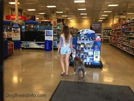 Spencer the Pit Bull Terrier and a girl are inside of the store