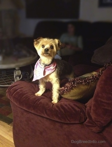 Dog wearing a bandana standing on a couch
