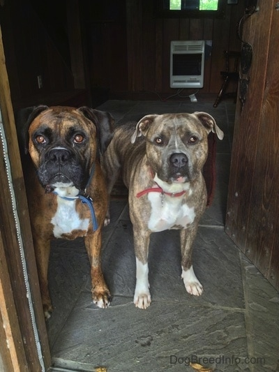 Bruno the Boxer and Spencer the Pit Bull Terrier waiting in a doorway