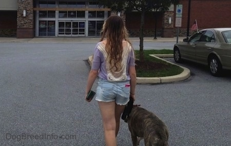 Spencer the Pit Bull Terrier and a girl are walking towards a building