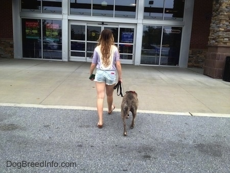Spencer the Pit Bull Terrier and a girl are walking towards a store