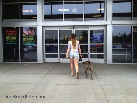 Spencer the Pit Bull Terrier and a girl are walking into a store