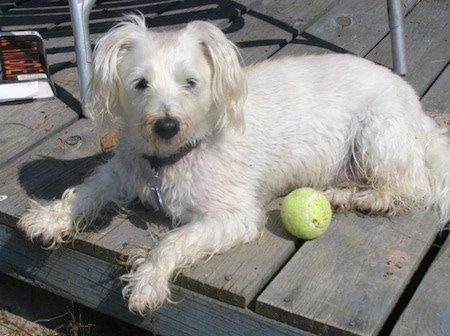 The left side of a wet white Wee-Chon dog that is laying across a wooden porch and there is a tennis ball next to it. The dog has shorter hair on its back and top of its head and longer hair on its underside and on its hanging white ears.