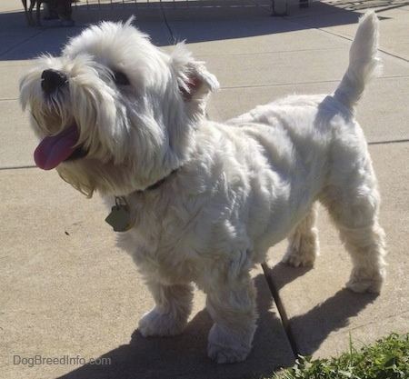 The front left side of a West Highland White Terrier dog that is standing across a concrete surface. Its mouth is open, its tongue is out and it is looking up. The dog's tail is up and its nose is black.